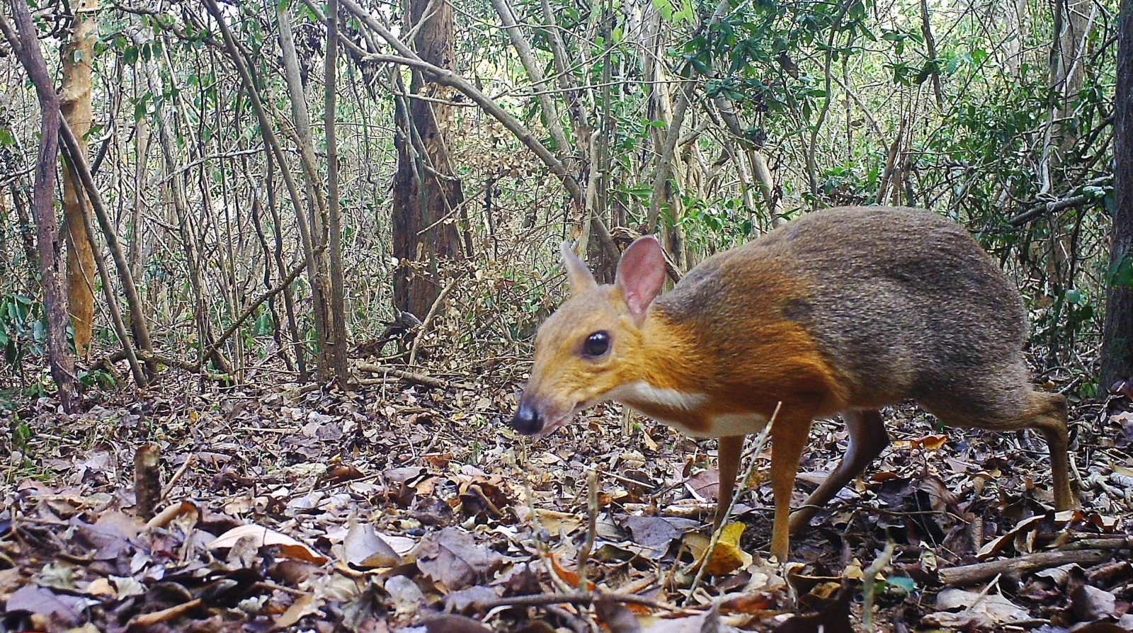 Dec3 2019 mousedeer1